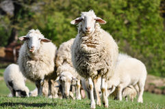 Troupeau de moutons dans le pâturage vert Photos libres de droits