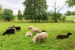 Troupeau de moutons dans le pré Image libre de droits