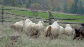 Troupeau de moutons dans les prés brumeux clips vidéos