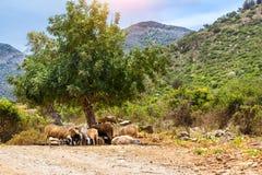 Troupeau de moutons de montagne, village de Bali, Grèce Photos stock