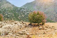Troupeau de moutons de montagne, village de Bali, Grèce Photographie stock