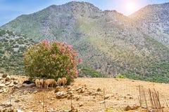 Troupeau de moutons de montagne, village de Bali, Grèce Images stock
