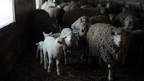 Troupeau de moutons Dity agnelle et des moutons dans une écurie Moutons dans la grange banque de vidéos