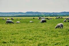 Troupeau de moutons en Hollandes photographie stock