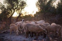 Troupeau de moutons en Olive Grove photos libres de droits