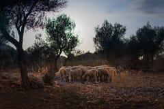 Troupeau de moutons en Olive Grove photos stock
