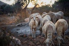Troupeau de moutons en Olive Grove photographie stock libre de droits