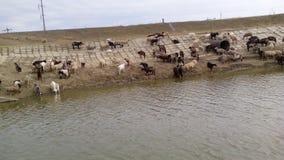 Troupeau de moutons et de chèvres Image stock