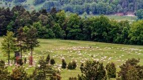 Troupeau de moutons et de chèvres au printemps Photographie stock