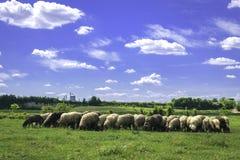 Troupeau de moutons frôlant sur le pâturage vert Image stock