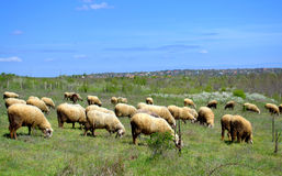 Troupeau de moutons frôlant au printemps le pâturage Photo stock