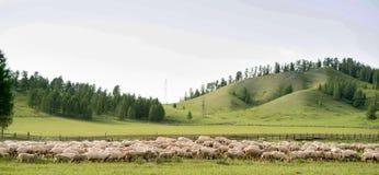 Troupeau de moutons frôlant dans un pré images stock