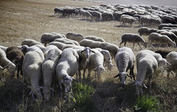 Troupeau de moutons mangeant dans le domaine Image libre de droits