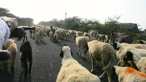Troupeau de moutons marchant sur la route banque de vidéos