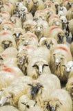 Troupeau de moutons sur la route Photos libres de droits