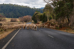 Troupeau de moutons sur la route Image stock