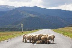 Troupeau de moutons sur la route Altai, Russie Image stock