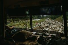 Troupeau de moutons sur la route Le troupeau transfère Photographie stock libre de droits