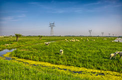Troupeau de moutons sur le beau pré de montagne Photo libre de droits