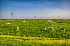 Troupeau de moutons sur le beau pré de montagne Photos libres de droits