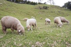 Troupeau de moutons sur le flanc de coteau Photos libres de droits