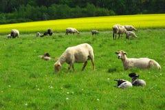Troupeau de moutons sur le pâturage Photographie stock libre de droits