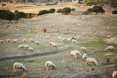 Troupeau de moutons sur le pâturage en Sardaigne Photos libres de droits