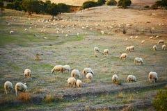 Troupeau de moutons sur le pâturage en Sardaigne Images libres de droits