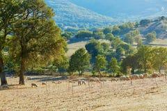Troupeau de moutons sur le pâturage en Sardaigne Photos stock