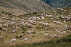 Troupeau de moutons sur le plateau de montagne Image libre de droits