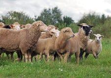Troupeau de moutons sur le pré Photographie stock libre de droits