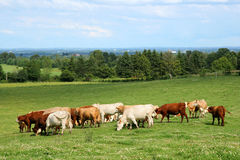 Troupeau de pâturage de bétail Photo libre de droits