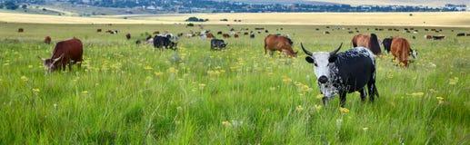 Troupeau de pâturage de bétail Images libres de droits