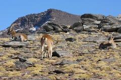 Troupeau de pâturage de chèvres sauvages Images libres de droits