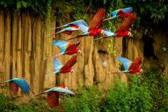Troupeau de perroquet rouge en vol Vol d'ara, végétation verte à l'arrière-plan Ara rouge et vert dans la forêt tropicale, Pérou photo libre de droits