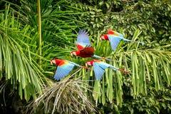 Troupeau de perroquet rouge en vol Vol d'ara, végétation verte à l'arrière-plan Ara rouge et vert dans la forêt tropicale, Pérou, image stock