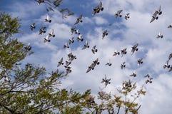 Troupeau de pigeon Photos stock