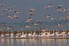 Troupeau de plus grands flamants, roseus de Phoenicopterus, mares de barrage d'Ujjani, Bhigwan Image stock