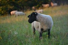 Troupeau de troupeau de points d'entrée et de sortie de sheeps Photographie stock libre de droits