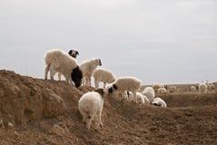 Troupeau de troupeau de points d'entrée et de sortie de sheeps images stock