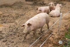 Troupeau de porcs à la ferme d'élevage de porc Images stock