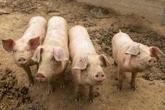 Troupeau de porcs à la ferme d'élevage de porc Images libres de droits