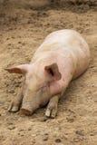 Troupeau de porcs à la ferme d'élevage de porc Photos stock