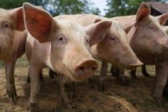 Troupeau de porcs à la ferme d'élevage de porc Image libre de droits