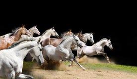 Troupeau de race de chevaux sur le noir Photographie stock