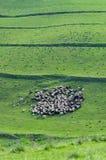 Troupeau de rassemblement de moutons Image libre de droits