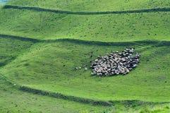 Troupeau de rassemblement de moutons Photos libres de droits