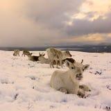 Troupeau de renne en Ecosse Photos libres de droits