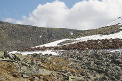 Troupeau de rennes photographie stock