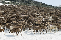 Troupeau de rennes image libre de droits